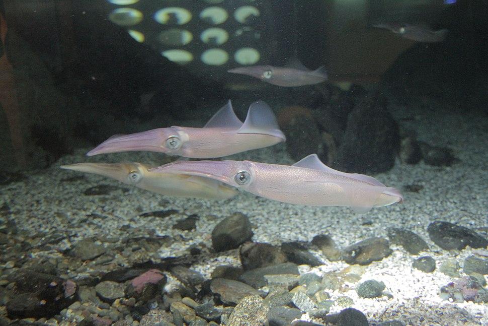 Calamares, Aquarium Finisterrae, A Coruña