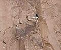 California Condor (Gymnogyps californianus) seen from the Bright Angel Trail at Grand Canyon National Park, Arizona - Flickr - Jay Sturner.jpg