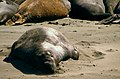 California Elephant Seals (4889335377).jpg