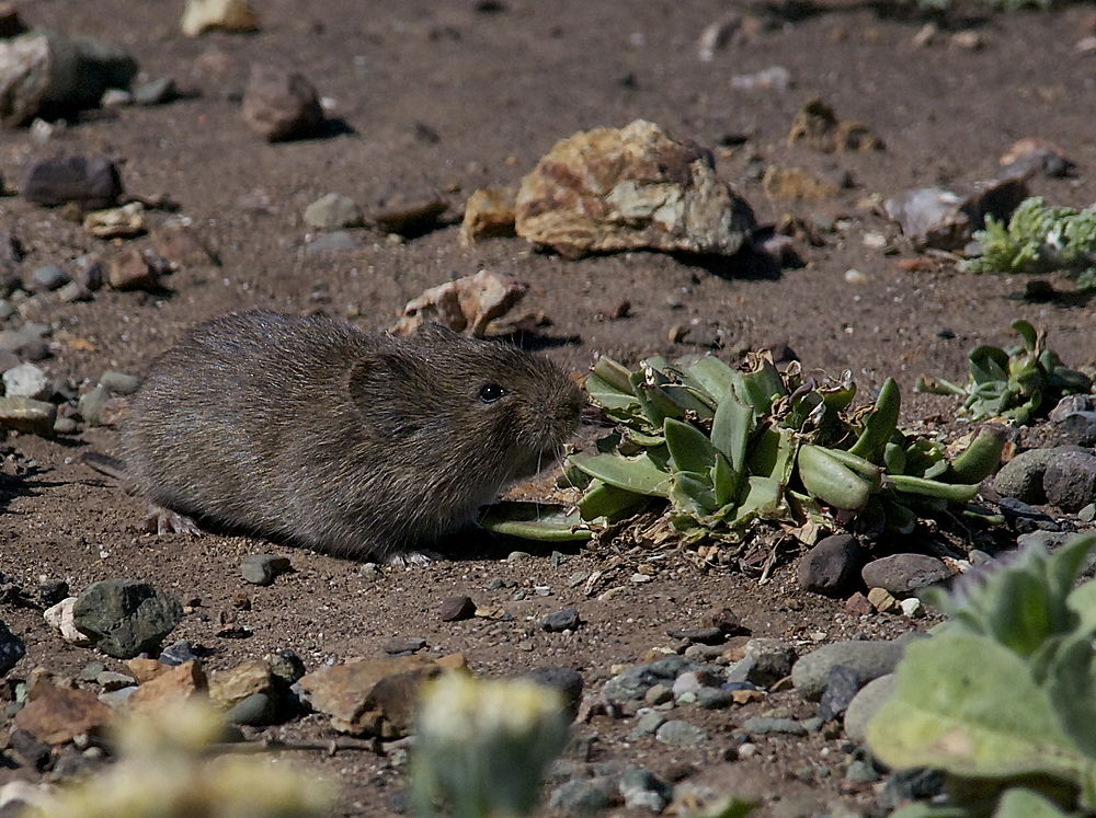 The average litter size of a California vole is 4