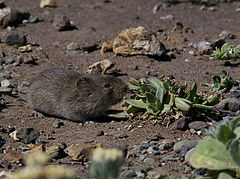 California Vole (Microtus californicus).jpg