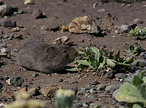 Description de l'image California Vole (Microtus californicus).jpg.