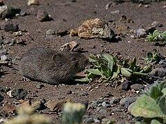 240px california vole (microtus californicus)