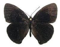 Calisto bruneri male upper side.JPG