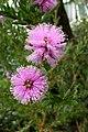 Callistemon sieberi DC. fleurs.JPG
