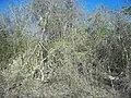 Calotmul (Yaxkukul), Yucatán (04).jpg