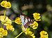 Calvisson-Sylvain azuré (limenitis reducta)-Dessous des ailes-20140516.jpg