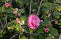 Camélia japonica cultivars.jpg