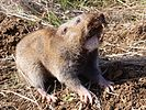 Camas pocket gopher
