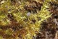 Campylium chrysophyllum (b, 144635-474820) 2701.JPG