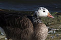 Canada goose (branta canadensis) aberrant plumage.jpg