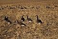 Canada goose - Branta canadensis (44161904154).jpg