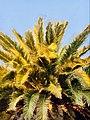 Canary Palm Tree.jpg