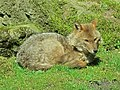 Canis aureus (Golden jackal), Burgers zoo, Arnhem, the Netherlands.JPG