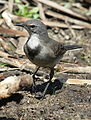 Cape Wagtail, Motacilla capensis at Marievale Nature Reserve, South Africa (9708427311).jpg