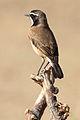 Capped Wheatear, Oenanthe pileata at Pilanesberg National Park, South Africa (10462850604).jpg