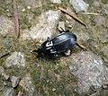 Carabidae. Abax parallelipipedus (36238167535).jpg