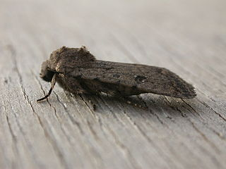 <i>Caradrina clavipalpis</i> Species of moth
