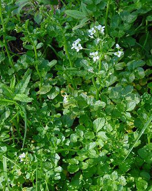 Bitter foam herb