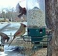 Cardinal- Birdcam (4280137422).jpg