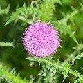 Carduus nigrescens subsp. vivariensis in Causse Comtal (4).jpg
