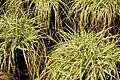 Carex caryophyllea Beatlemania 1zz.jpg