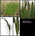 Carex elata (01).jpg