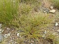 Carex extensa (15).jpg