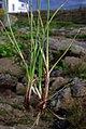Carex extensa (4).jpg