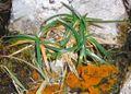 Carex firma.jpg