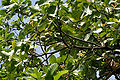 Careya arborea (Wild guava) leaves in Narsapur forest, AP W IMG 0153.jpg