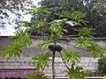 Carica papaya,Xiamen.JPG