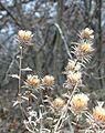 Carlina vulgaris ENBLA04.JPG