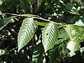 Carpinus turczaninovii - J. C. Raulston Arboretum - DSC06156.JPG