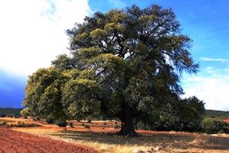 Algar de Mesa - Image: Carrasca de Algar