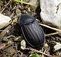 Carrion Beetle . Silphidae (15657840124).jpg