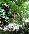Cassia abbreviata, peul, Manie van der Schijff BT, a.jpg