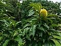 Castanea crenata City Botanic Gardens Brisbane L1150812.jpg
