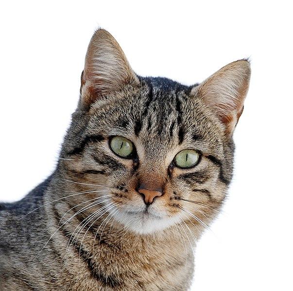 File:Cat March 2010-1a.jpg