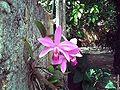 Cattleya violacea 2.jpg