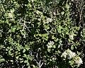 Ceanothus greggii 3.jpg