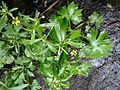 Celery-Leaved Buttercup at Gunnersbury Triangle.jpg