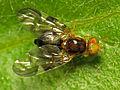 Celery fly (Euleia heraclei) (16632176803).jpg