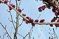 Cercis chinensis Avondale 18zz.jpg