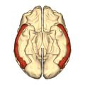 Cerebrum - middle temporal gyrus - inferior.png