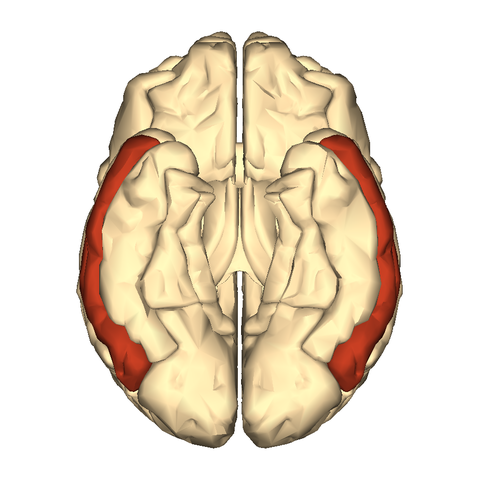 file:cerebrum - middle temporal gyrus - inferior - wikimedia, Human Body