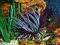 Cerianthus membranaceus 01.JPG