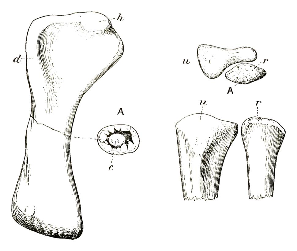 Cetiosauriscus forelimb