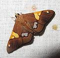 Cf. Heterocnephes lymphatalis (7221121704).jpg