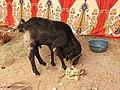 Chachacatti sheep-1-praba pet-salem-India.jpg